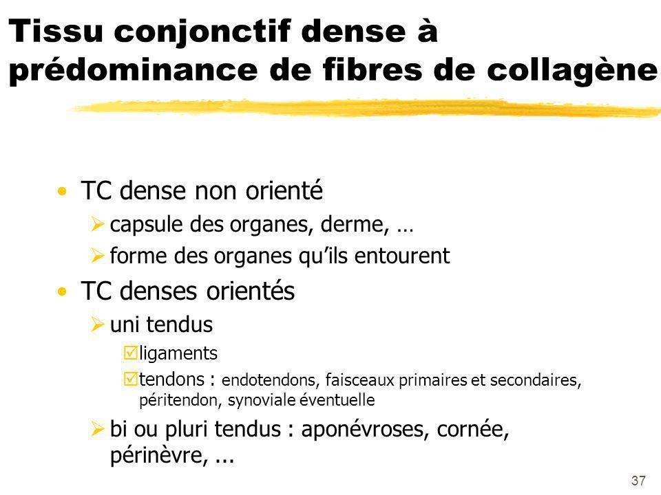 37 Tissu conjonctif dense à prédominance de fibres de collagène TC dense non orienté  capsule des organes, derme, …  forme des organes qu'ils entourent TC denses orientés  uni tendus  ligaments  tendons : endotendons, faisceaux primaires et secondaires, péritendon, synoviale éventuelle  bi ou pluri tendus : aponévroses, cornée, périnèvre,...