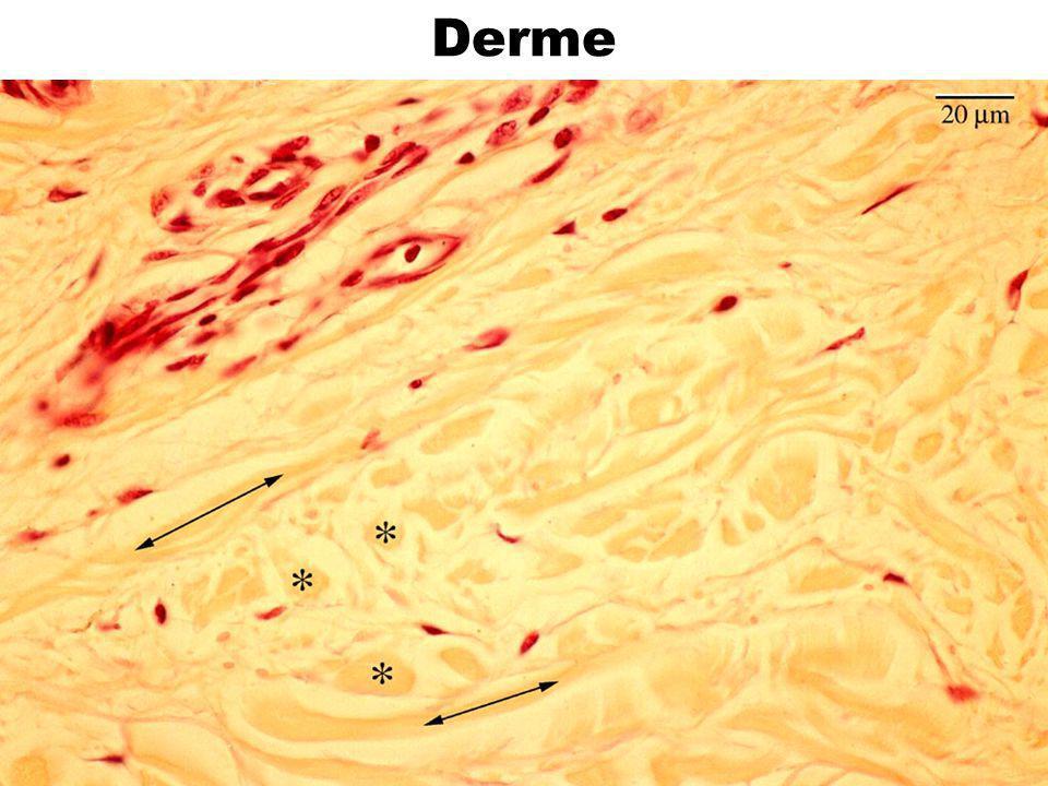 46 Tissu élastique Fibres ou lames élastiques prédominantes Exemples :  ligament jaune de la colonne vertébrale  media des artères élastiques