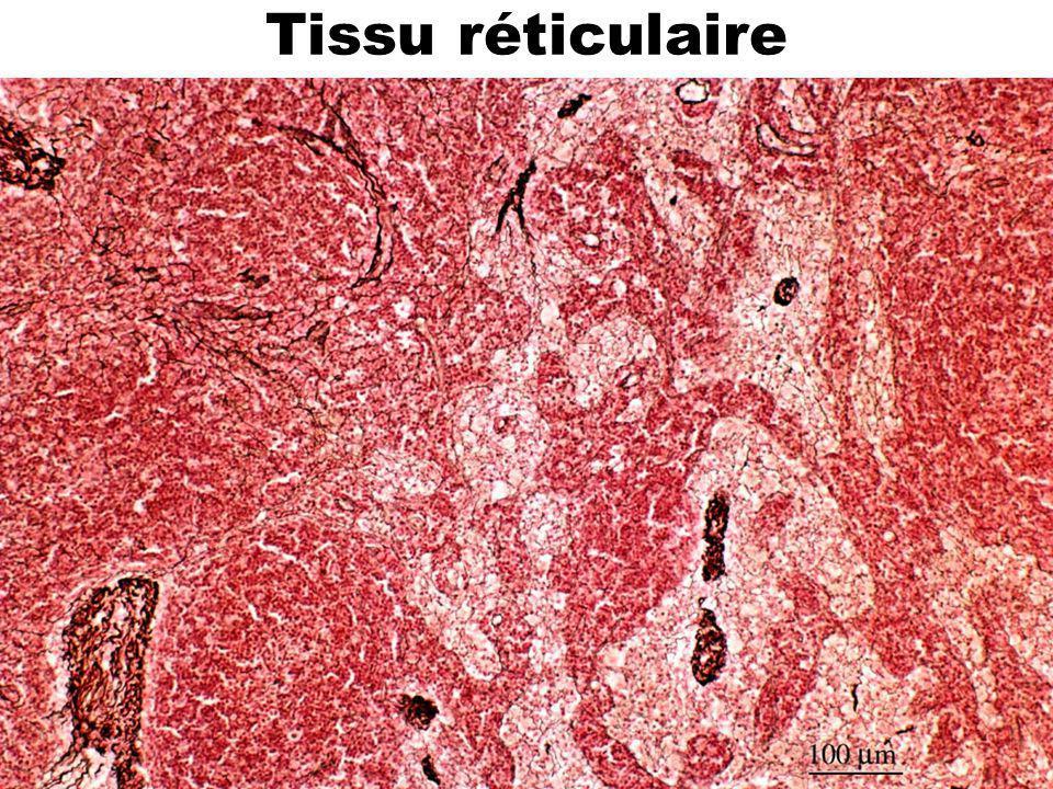 50 Tissu réticulaire