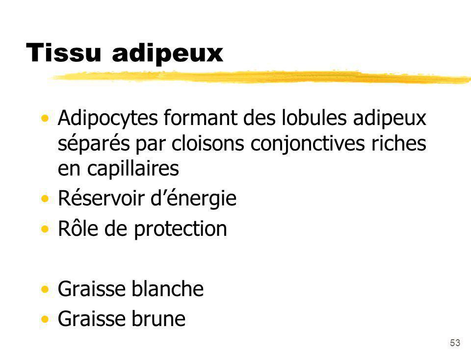 53 Tissu adipeux Adipocytes formant des lobules adipeux séparés par cloisons conjonctives riches en capillaires Réservoir d'énergie Rôle de protection Graisse blanche Graisse brune