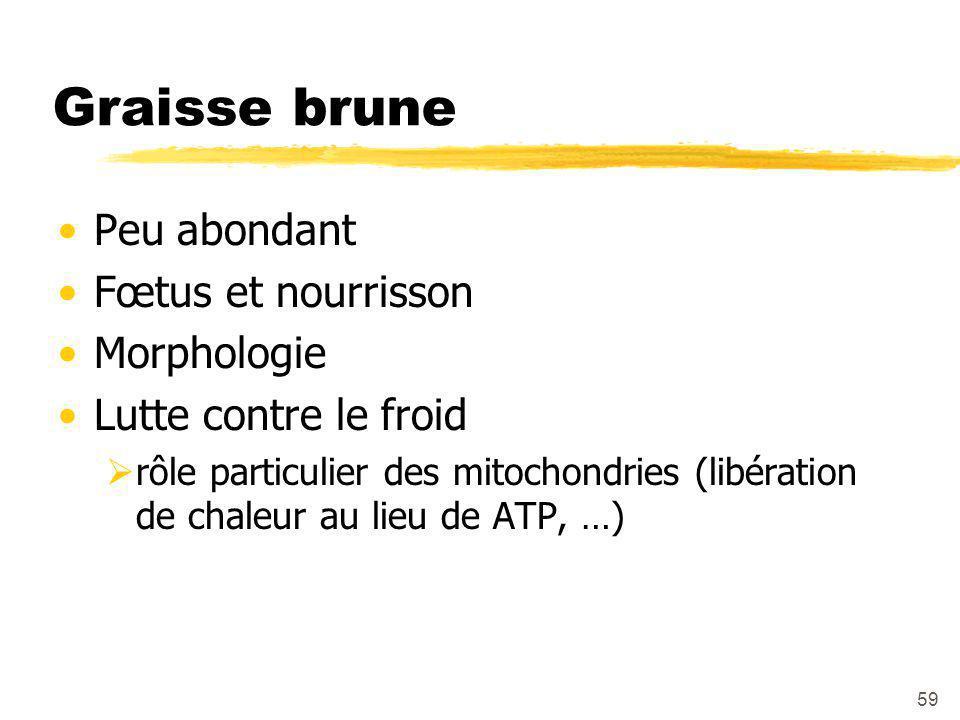 59 Graisse brune Peu abondant Fœtus et nourrisson Morphologie Lutte contre le froid  rôle particulier des mitochondries (libération de chaleur au lieu de ATP, …)