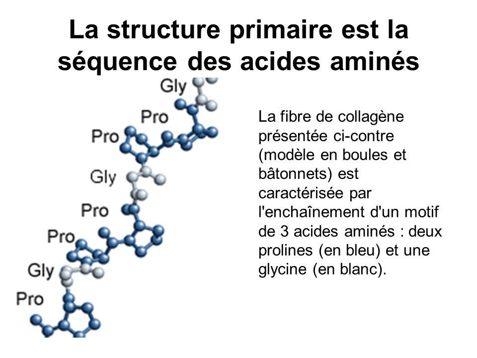 La structure primaire est la séquence des acides aminés La fibre de collagène présentée ci-contre (modèle en boules et bâtonnets) est caractérisée par l enchaînement d un motif de 3 acides aminés : deux prolines (en bleu) et une glycine (en blanc).