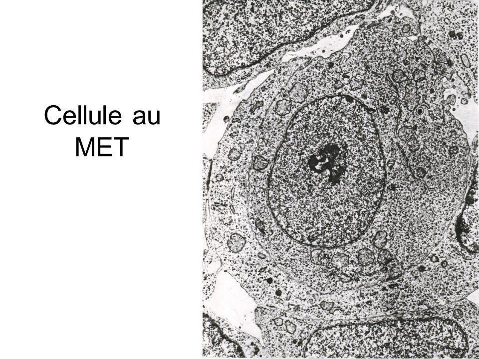 Cellule au MET - schéma