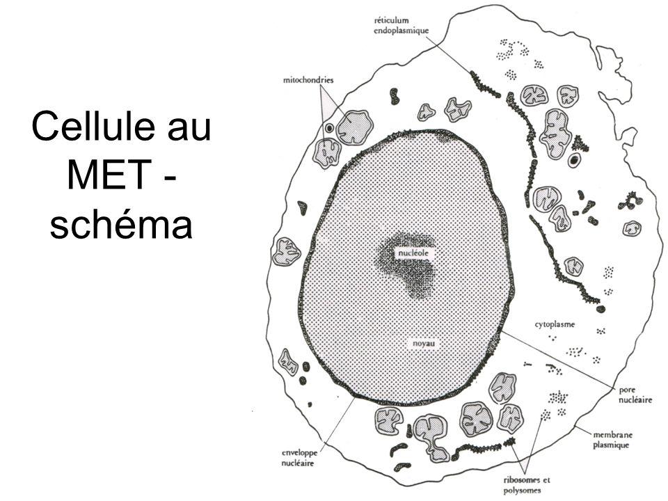 Hématies normales et drépanocytaires