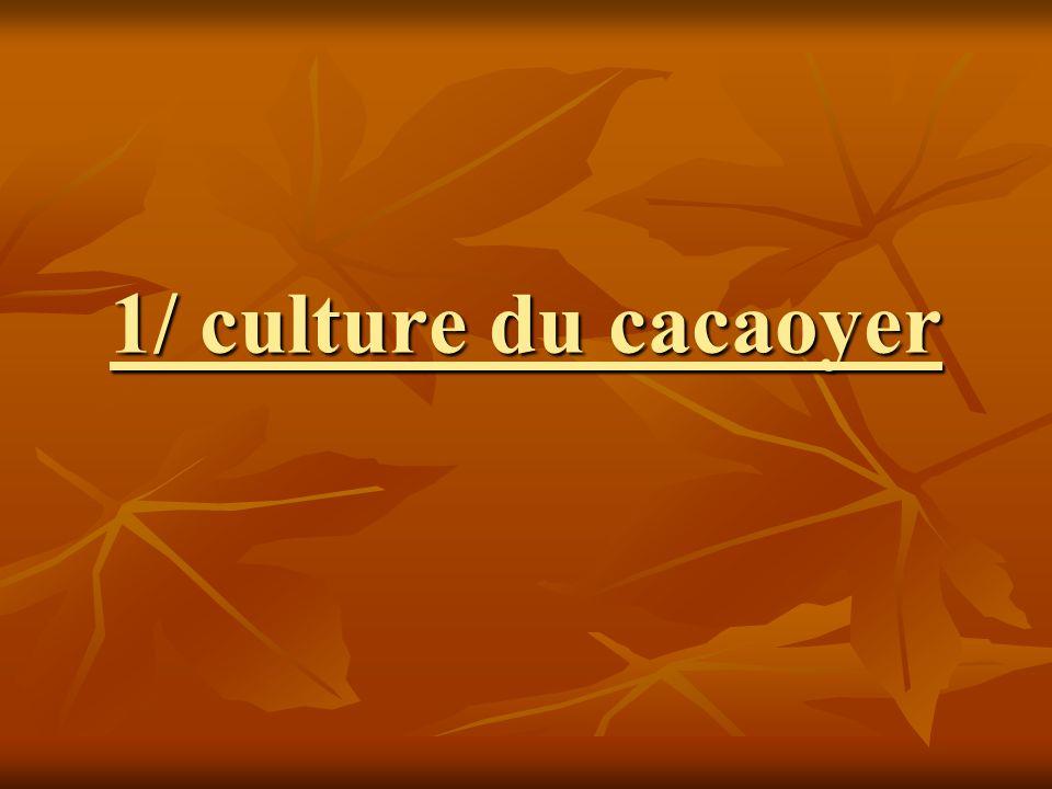 1/ culture du cacaoyer