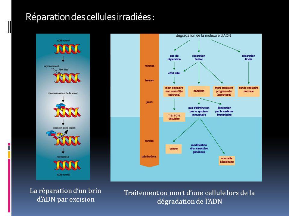 Réparation des cellules irradiées : La réparation d'un brin d'ADN par excision Traitement ou mort d'une cellule lors de la dégradation de l'ADN