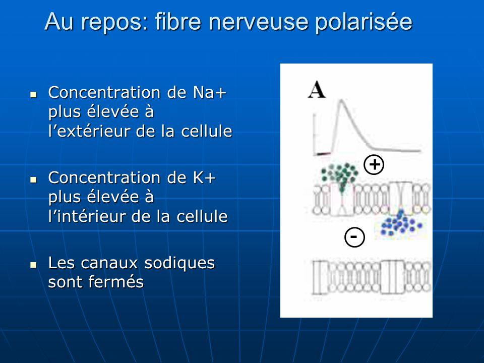 Concentration de Na+ plus élevée à l'extérieur de la cellule Concentration de Na+ plus élevée à l'extérieur de la cellule Concentration de K+ plus éle