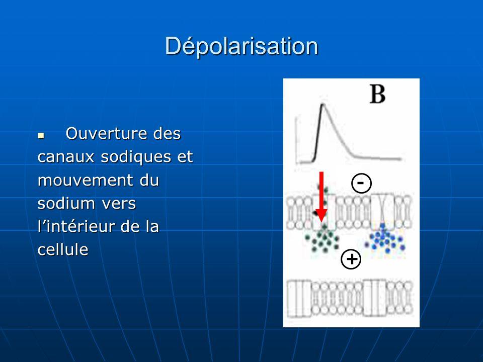 Ouverture des Ouverture des canaux sodiques et mouvement du sodium vers l'intérieur de la cellule + - Dépolarisation