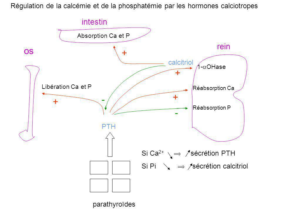 intestin os rein parathyroïdes PTH Libération Ca et P + 1-  OHase Réabsorption Ca Réabsorption P + + - Absorption Ca et P + calcitriol - Régulation d