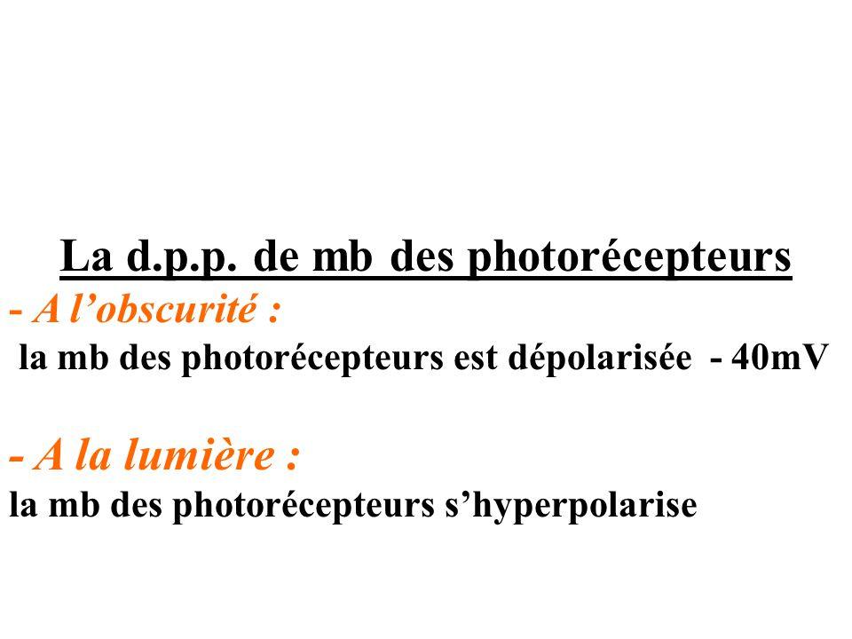 La d.p.p. de mb des photorécepteurs - A l'obscurité : la mb des photorécepteurs est dépolarisée - 40mV - A la lumière : la mb des photorécepteurs s'hy