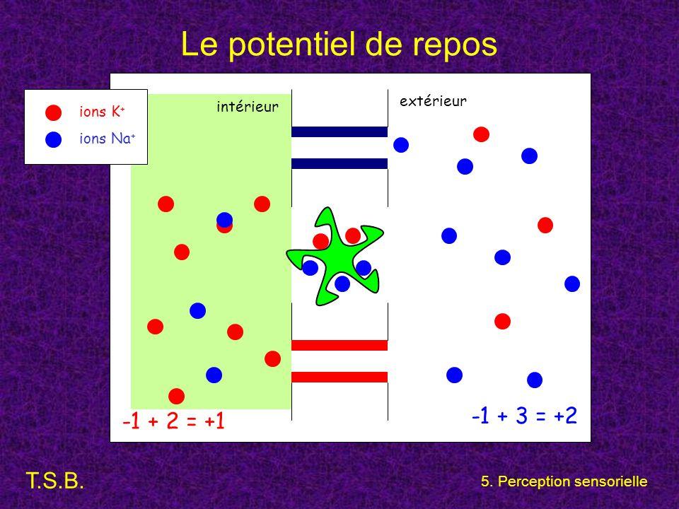 T.S.B. 5. Perception sensorielle Le potentiel de repos extérieur intérieur ions K + ions Na + -1 + 2 = +1 -1 + 3 = +2