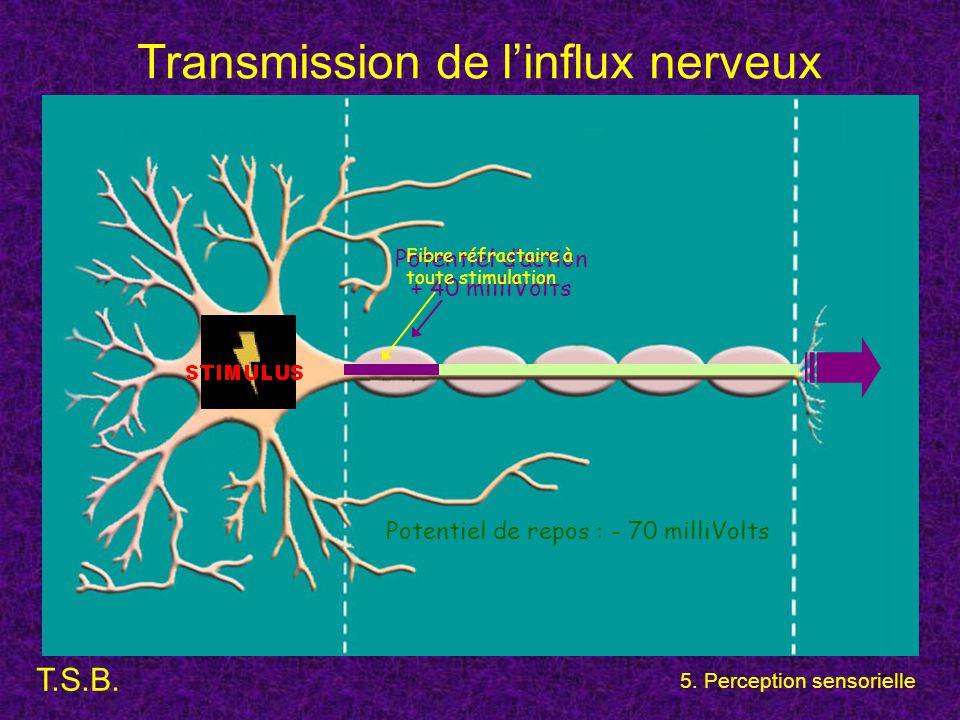 T.S.B. 5. Perception sensorielle Transmission de l'influx nerveux Potentiel de repos : - 70 milliVolts Potentiel d'action + 40 milliVolts Fibre réfrac