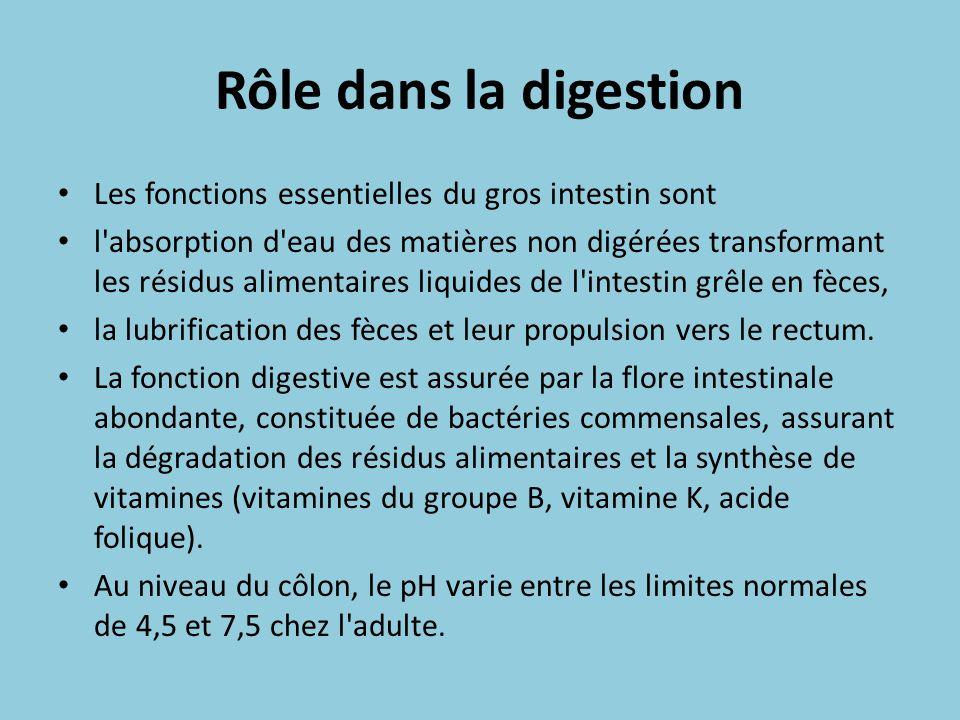 Rôle dans la digestion Les fonctions essentielles du gros intestin sont l'absorption d'eau des matières non digérées transformant les résidus alimenta