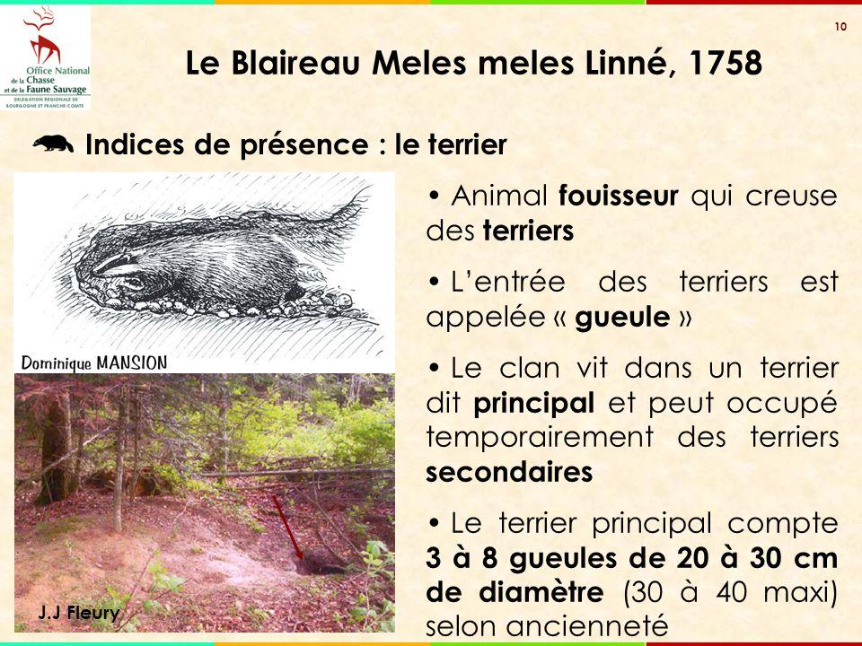 10 Le Blaireau Meles meles Linné, 1758 J.J Fleury Animal fouisseur qui creuse des terriers L'entrée des terriers est appelée « gueule » Le clan vit da