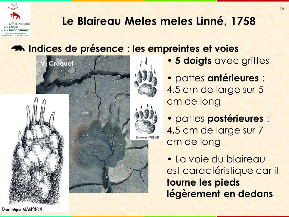 12 Le Blaireau Meles meles Linné, 1758 V. Croquet 5 doigts avec griffes pattes antérieures : 4,5 cm de large sur 5 cm de long pattes postérieures : 4,