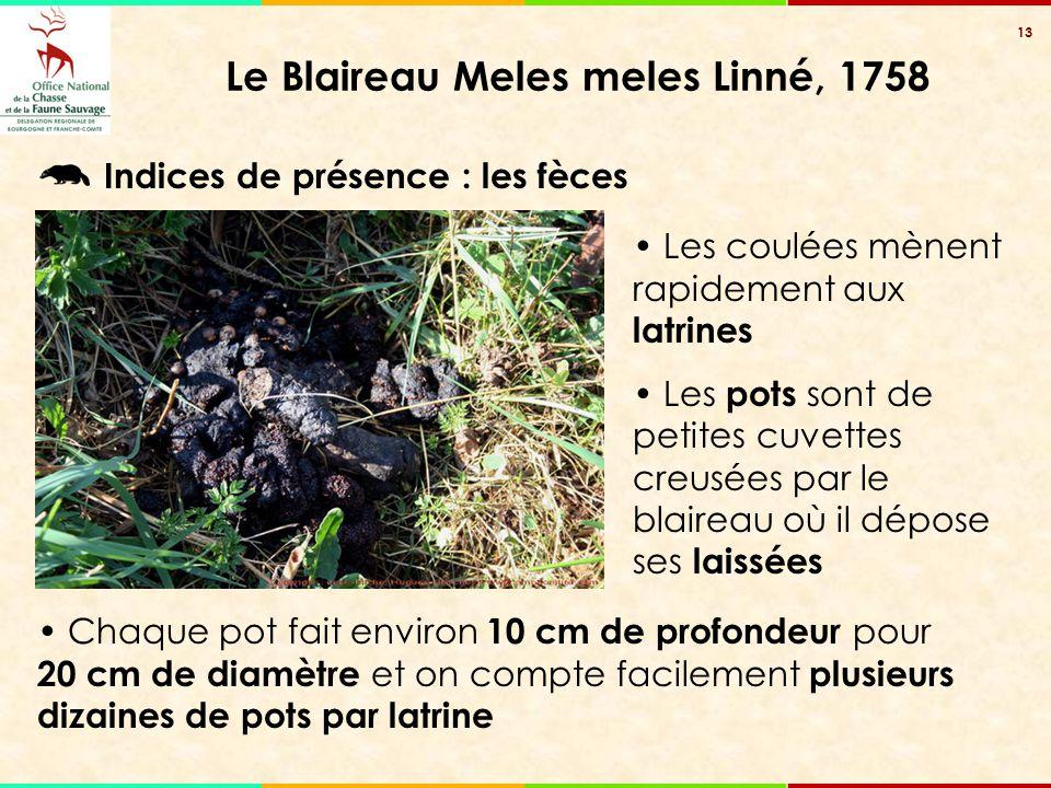 13 Le Blaireau Meles meles Linné, 1758 Les coulées mènent rapidement aux latrines Les pots sont de petites cuvettes creusées par le blaireau où il dép