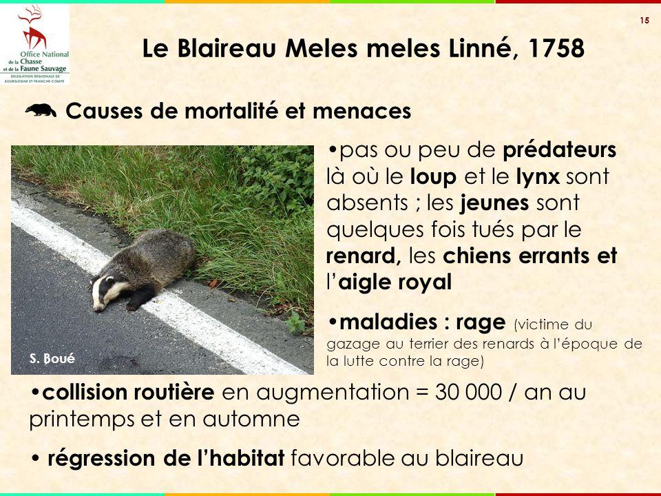15 Le Blaireau Meles meles Linné, 1758 collision routière en augmentation = 30 000 / an au printemps et en automne régression de l'habitat favorable a