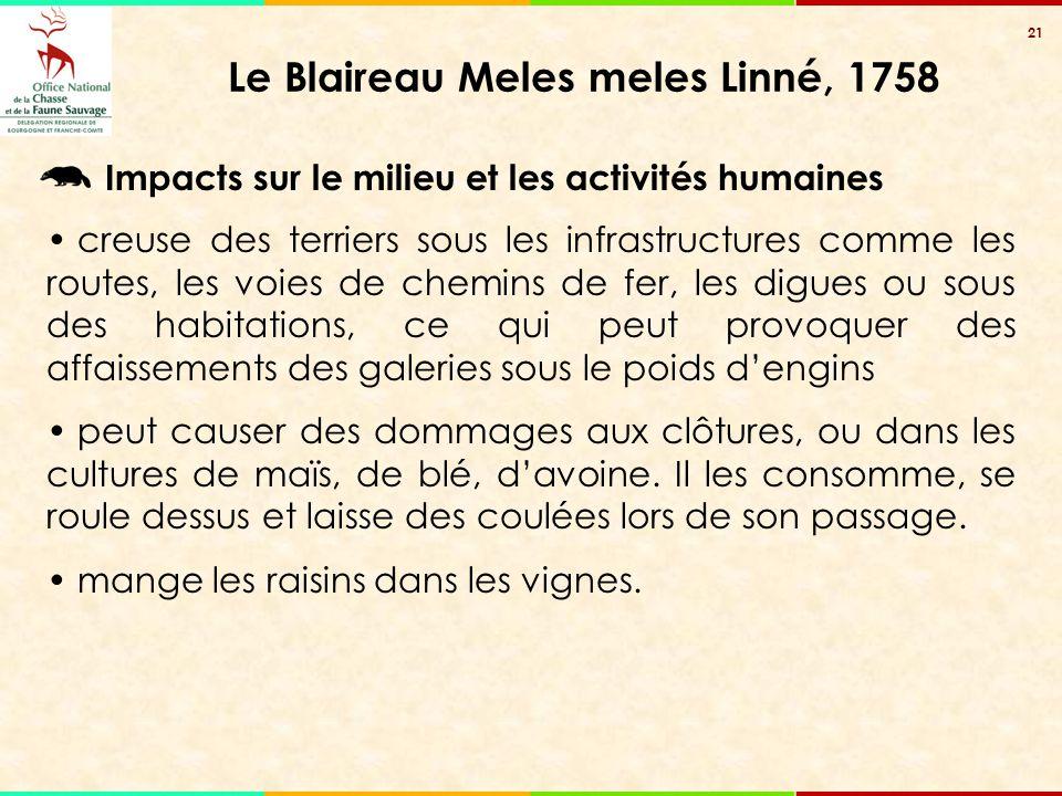21 Le Blaireau Meles meles Linné, 1758 creuse des terriers sous les infrastructures comme les routes, les voies de chemins de fer, les digues ou sous