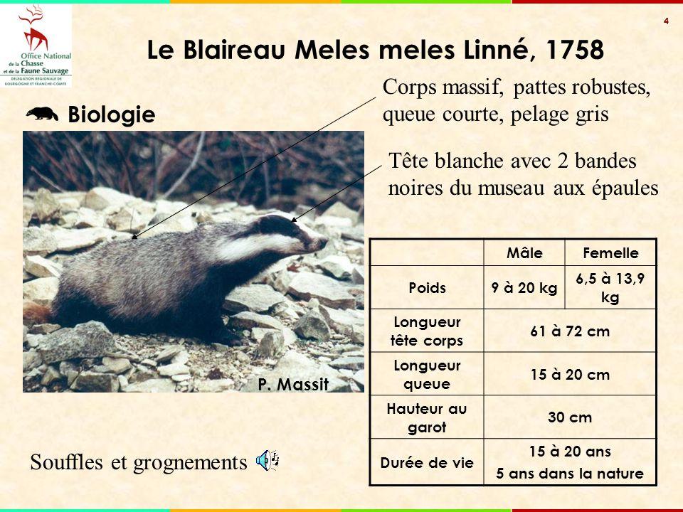 4 Souffles et grognements Le Blaireau Meles meles Linné, 1758 Corps massif, pattes robustes, queue courte, pelage gris Tête blanche avec 2 bandes noir