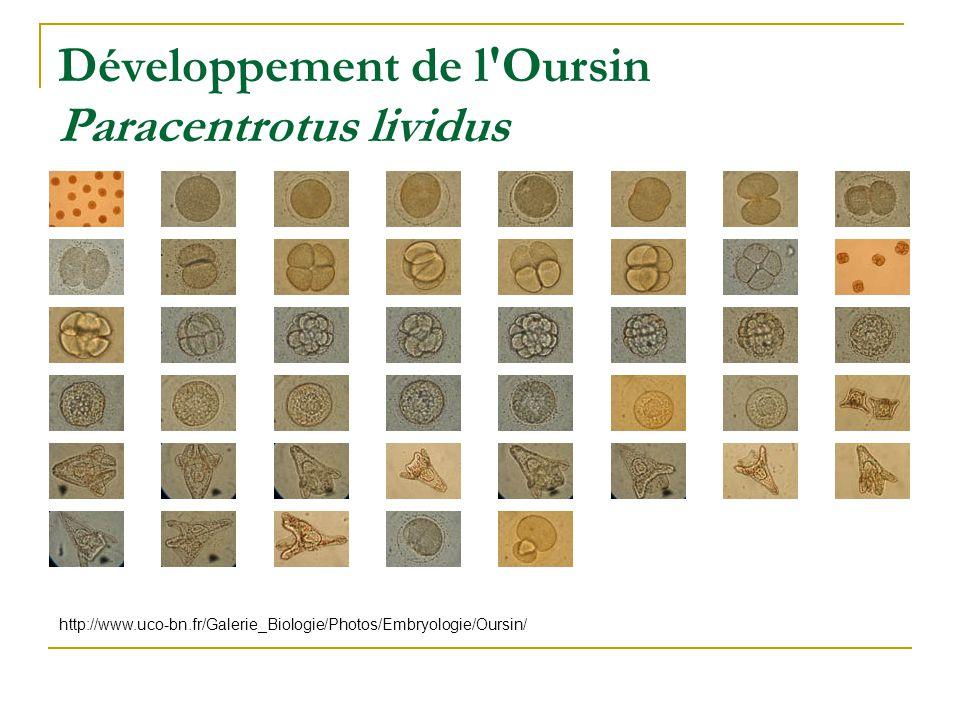 Développement de l Oursin Paracentrotus lividus http://www.uco-bn.fr/Galerie_Biologie/Photos/Embryologie/Oursin/