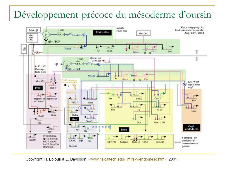 Développement précoce du mésoderme d'oursin [Copyright: H. Bolouri & E. Davidson, (2001)]www.its.caltech.edu/~mirsky/endomeso.htm