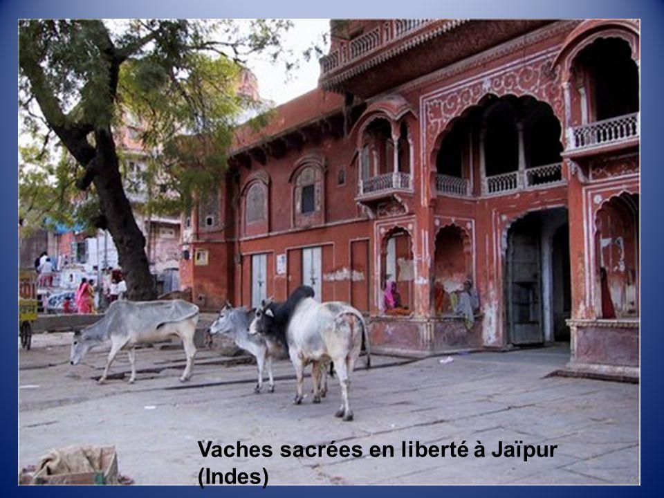 Vaches sacrées en liberté à Jaïpur (Indes)