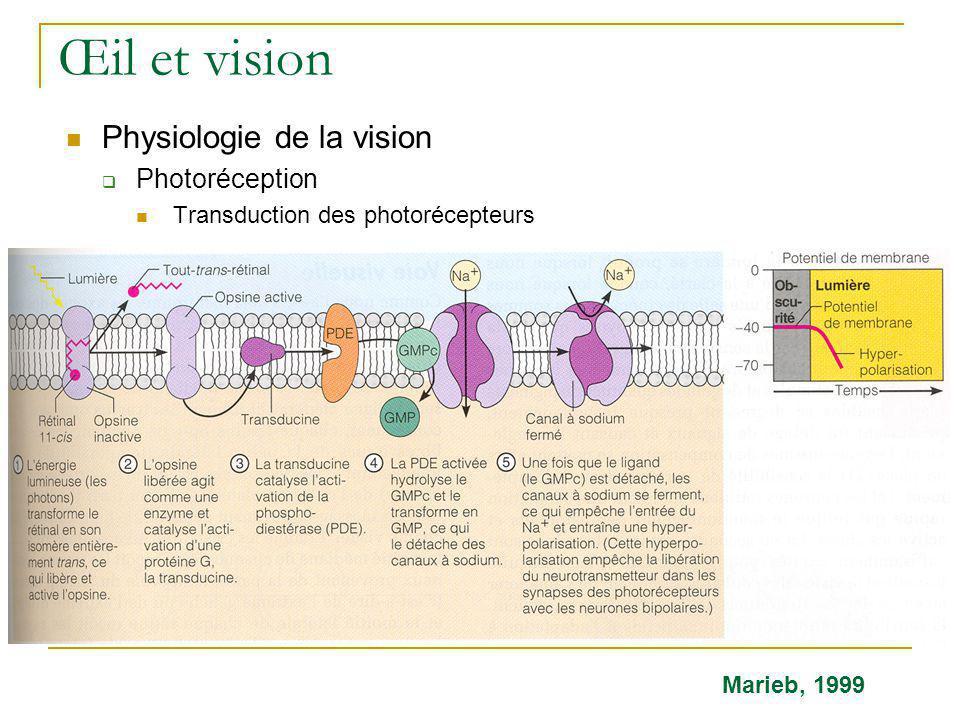 Œil et vision  Physiologie de la vision  Photoréception  Transduction des photorécepteurs Marieb, 1999
