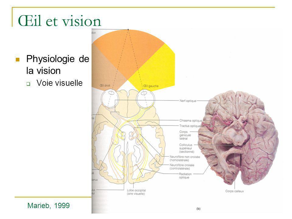 Œil et vision  Physiologie de la vision  Voie visuelle Marieb, 1999