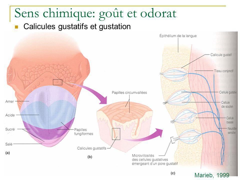 Sens chimique: goût et odorat  Calicules gustatifs et gustation  Saveurs fondamentales  Sucré  Acide  Salé  Amer  …glutamate: umami