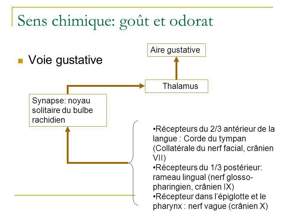 Sens chimique: goût et odorat  Épithélium de la région olfactive  Situation et structure des récepteurs olfactifs Marieb, 1999