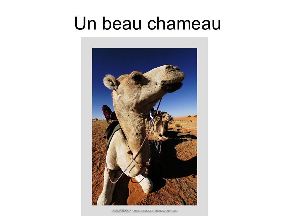 Un beau chameau