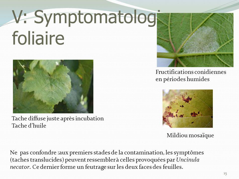 V: Symptomatologie - foliaire 15 Ne pas confondre :aux premiers stades de la contamination, les symptômes (taches translucides) peuvent ressembler à c