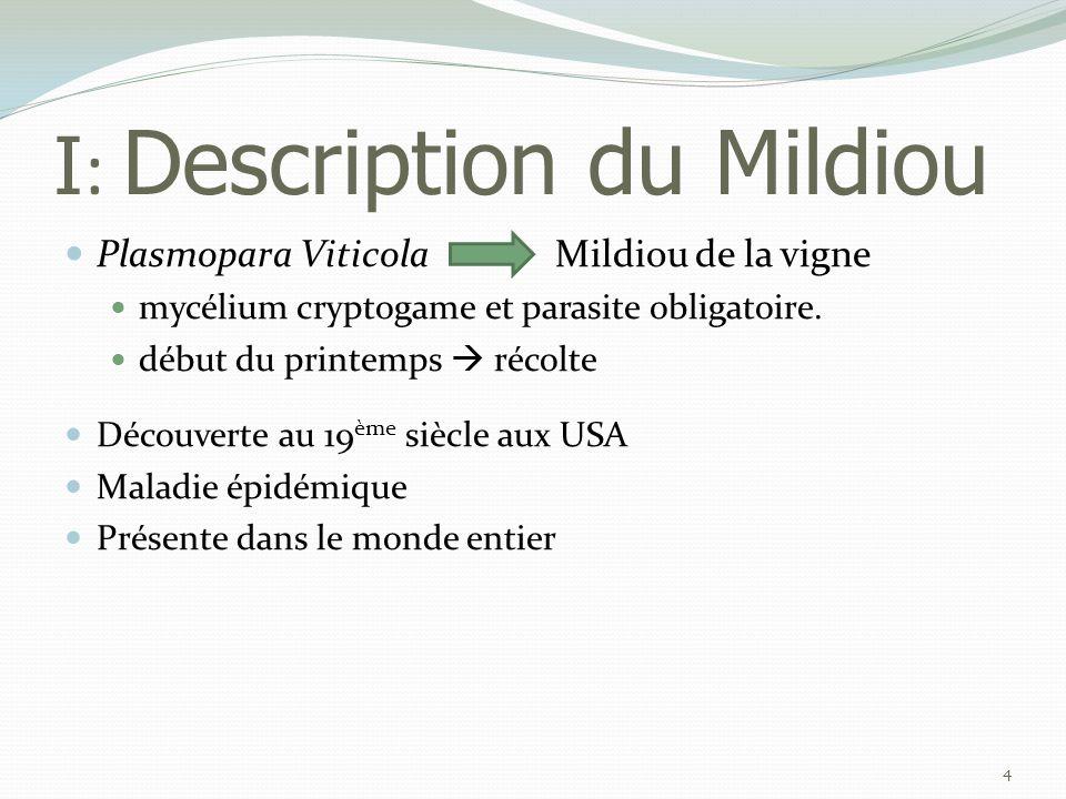 I : Description du Mildiou  Plasmopara Viticola Mildiou de la vigne  mycélium cryptogame et parasite obligatoire.  début du printemps  récolte  D
