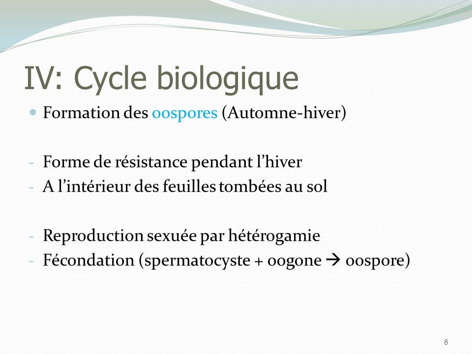 IV: Cycle biologique  Infection primaire : contamination de la plante hôte (Printemps) - Pluie + T° > 11 °C - Germination des oospores  Sporanges  Zoospores - Contamination des feuilles basses : contact direct flaques d'eau et éclaboussures par la pluie.