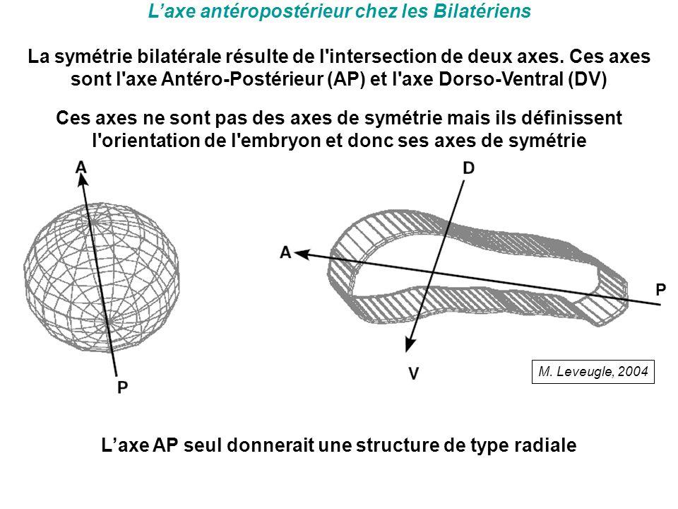 L'axe antéropostérieur chez les Bilatériens La symétrie bilatérale résulte de l'intersection de deux axes. Ces axes sont l'axe Antéro-Postérieur (AP)