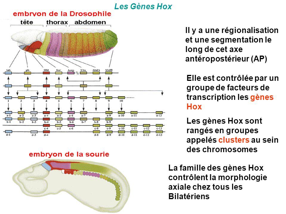 Les Gènes Hox Il y a une régionalisation et une segmentation le long de cet axe antéropostérieur (AP) Elle est contrôlée par un groupe de facteurs de