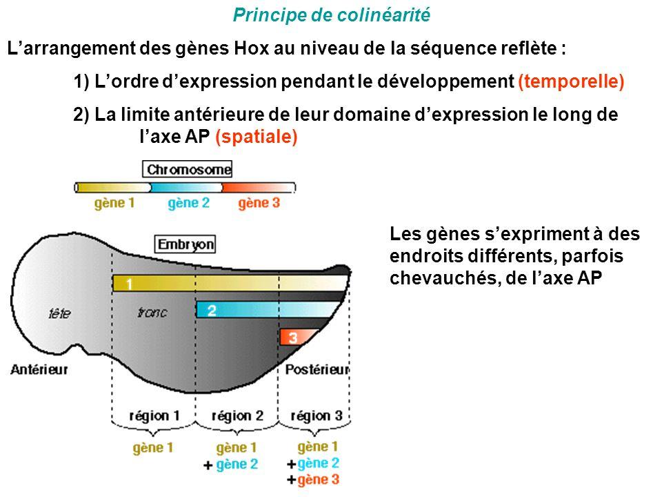 Principe de colinéarité L'arrangement des gènes Hox au niveau de la séquence reflète : 1) L'ordre d'expression pendant le développement (temporelle) 2