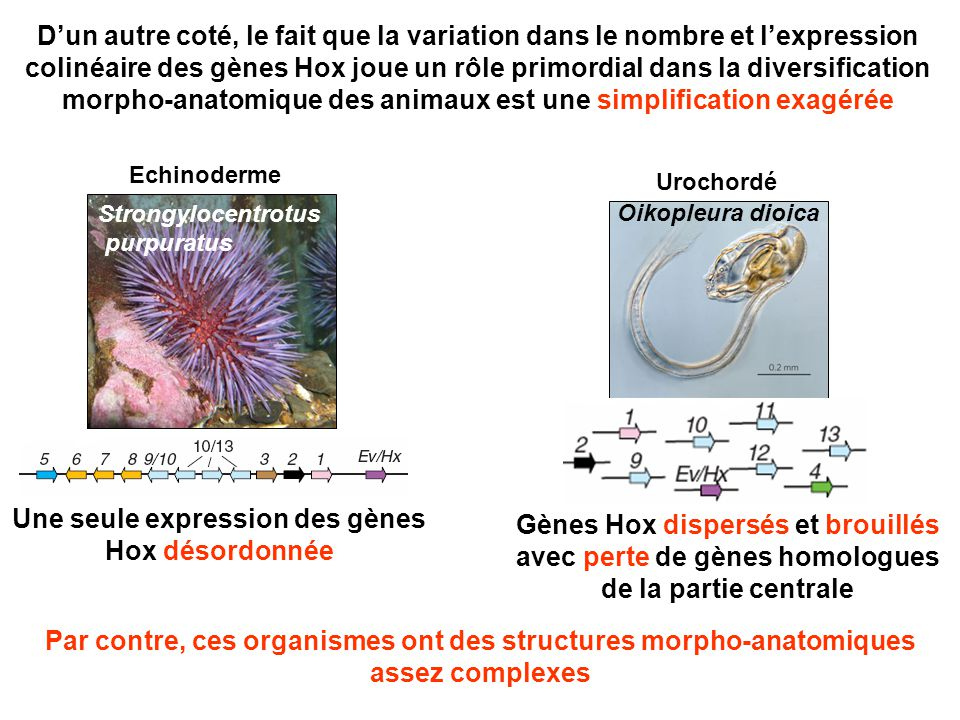 Donc, la diversité morpholo- anatomique chez les Bilatériens pourrait dépendre d'autres gènes régulateurs qui ressemblent aux gènes Hox dans leur pouvoir à diversifier les structures mais qui n'ont pas été encore identifiés