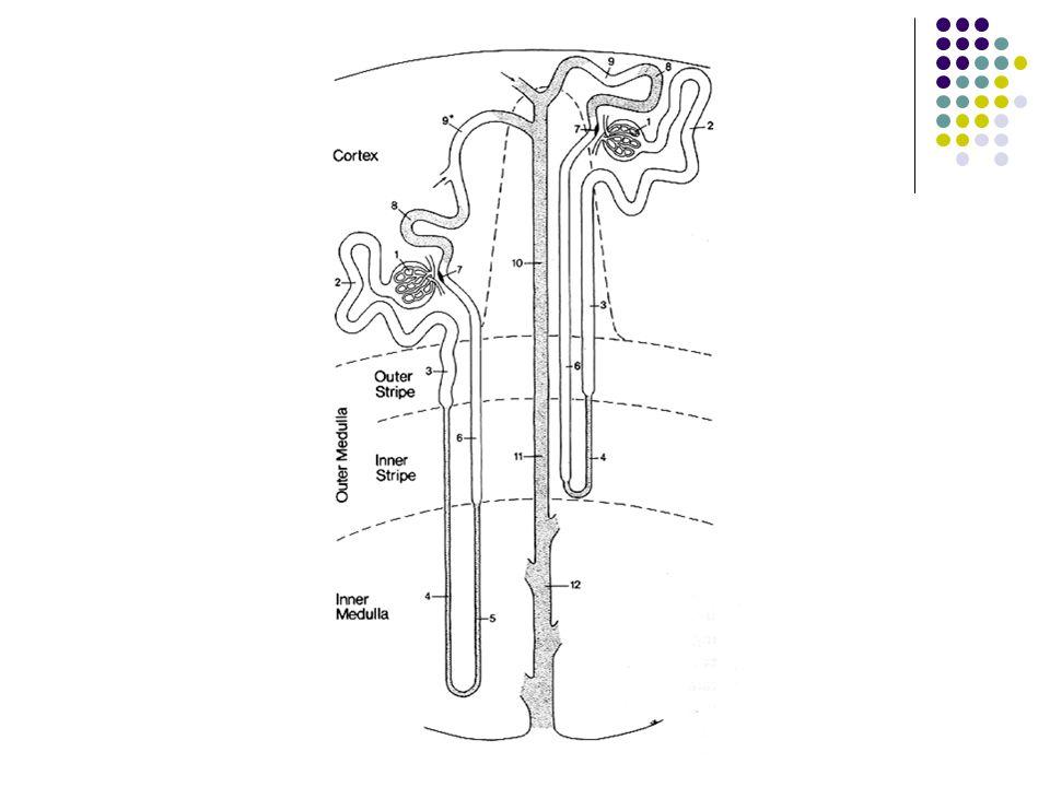 Structures vasculaires Structures épithéliales