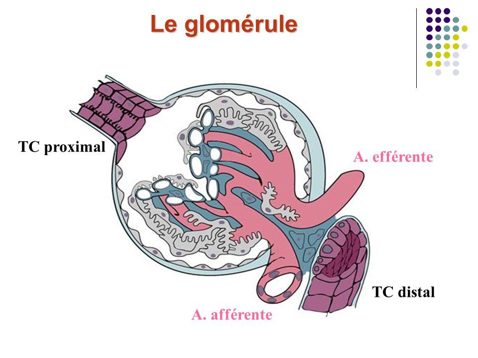 Le glomérule A. afférente A. efférente TC proximal TC distal