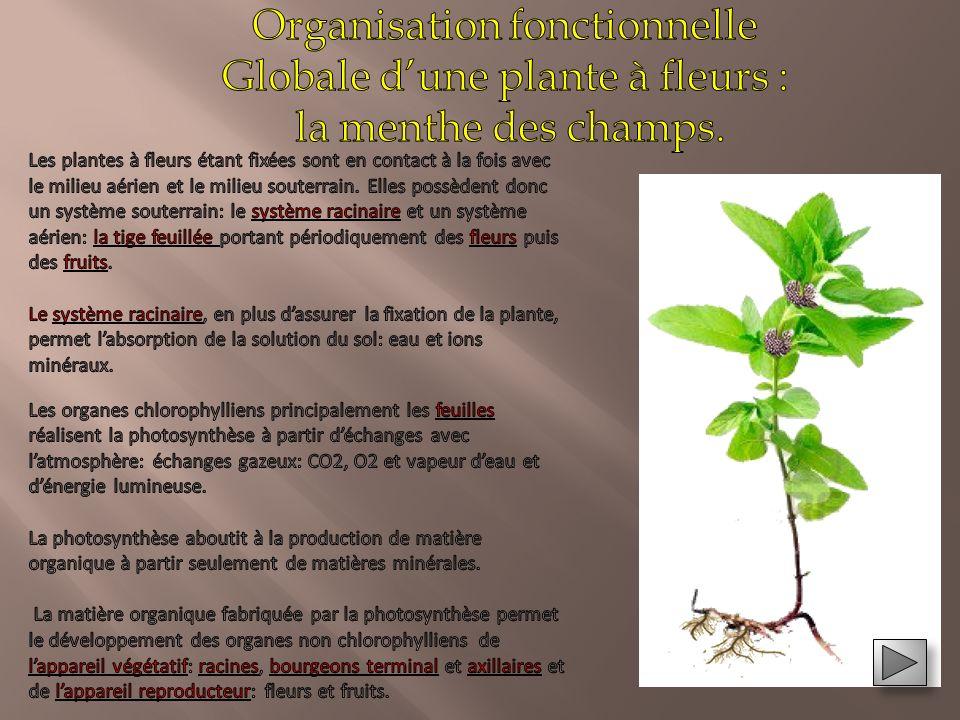 Pré requis: organisation fonctionnelle d'une plante commune: la menthe des champs Pré requis: organisation fonctionnelle d'une plante commune: la ment
