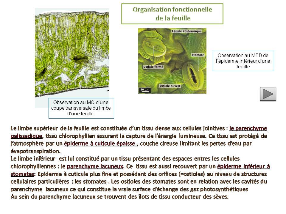  Observer votre plant de menthe des champs mis à votre disposition afin d'y repérer les différents structures soulignées dans le texte  Légender sur