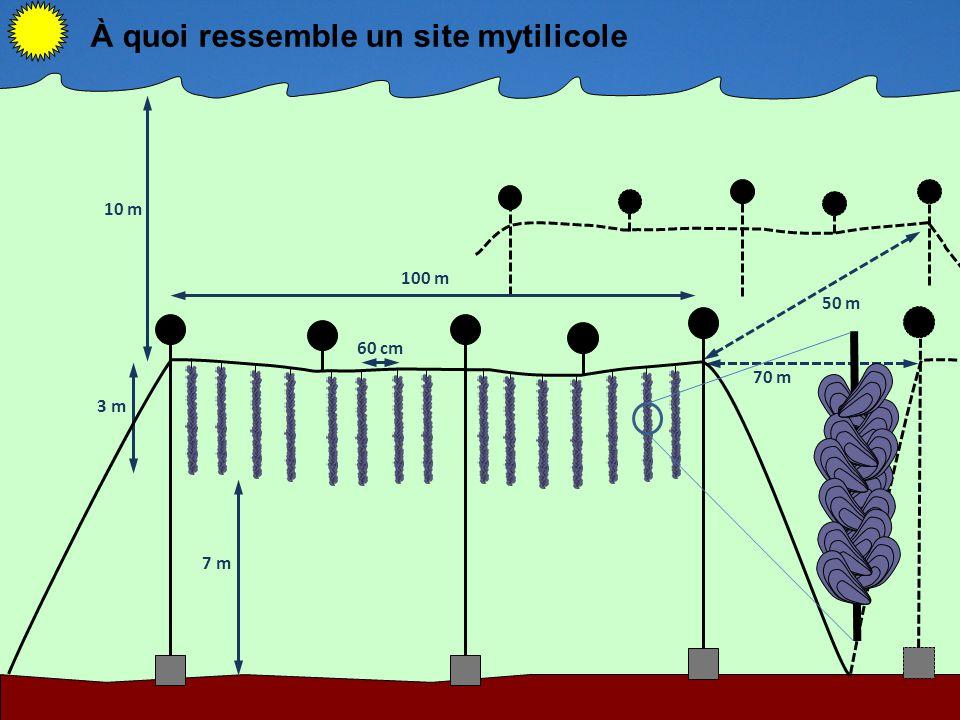 50 m 70 m 10 m 3 m 7 m 100 m 60 cm À quoi ressemble un site mytilicole
