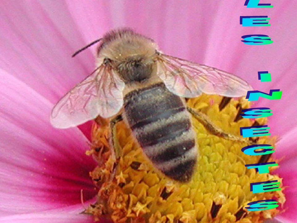 Il est poilu, il a des antennes et des ailes.Il mesure 2 cm en hauteur et 1 cm de largeur.