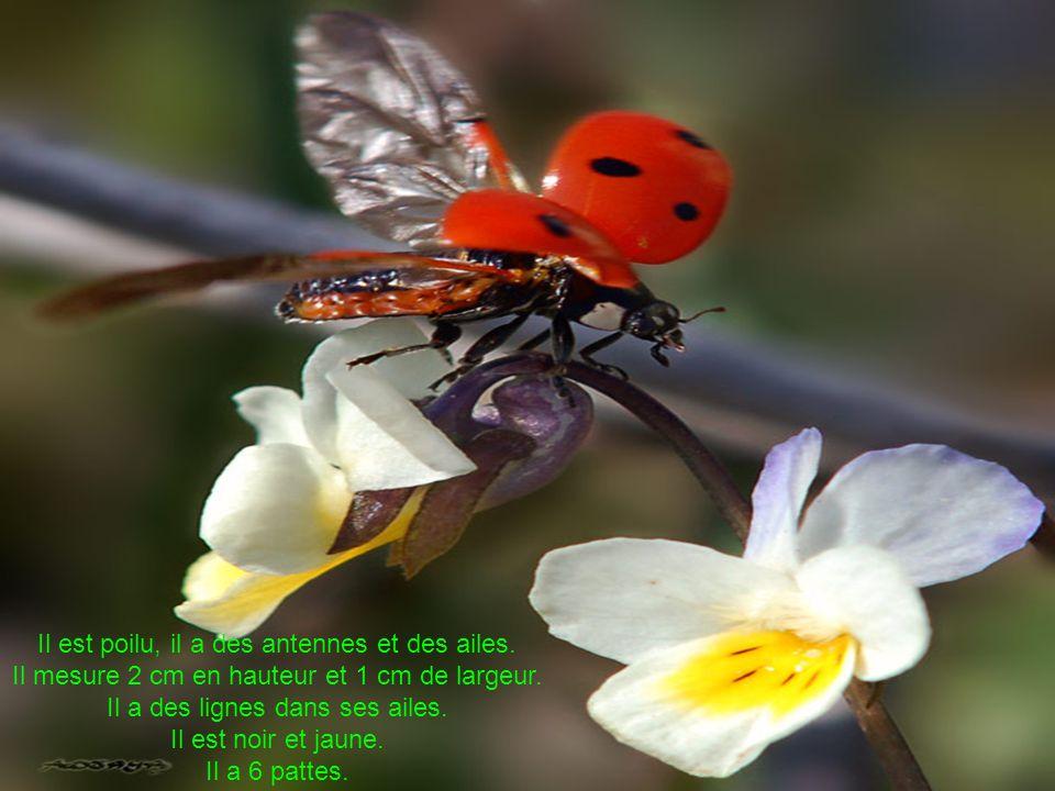 Il est poilu, il a des antennes et des ailes. Il mesure 2 cm en hauteur et 1 cm de largeur.