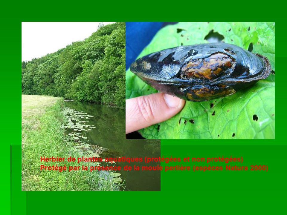 Herbier de plantes aquatiques (protégées et non protégées) Protégé par la présence de la moule perlière (espèces Natura 2000)