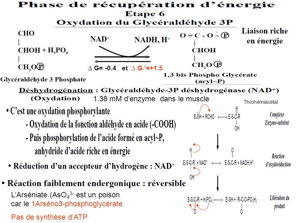 ∆ G= -0.4 et ∆ G ° '=+1.5.. Thiohémiacétal L'Arséniate (AsO 4 3- est un poison car le 1Arséno3-phosphoglycérate Pas de synthèse d'ATP 1.38 mM d'enzyme