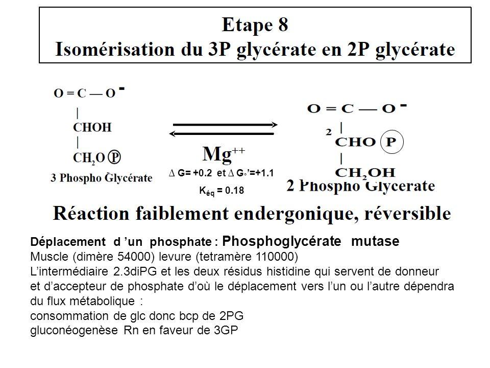 Déplacement d 'un phosphate : Phosphoglycérate mutase Muscle (dimère 54000) levure (tetramère 110000) L'intermédiaire 2.3diPG et les deux résidus hist