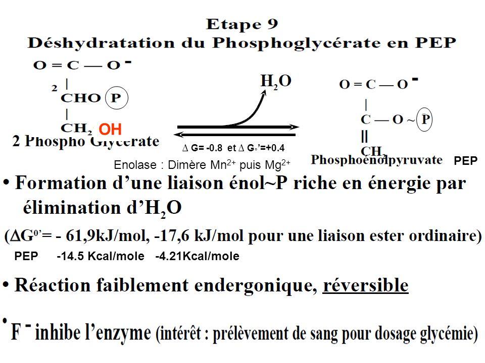 ∆ G= -0.8 et ∆ G ° '=+0.4 PEP -14.5 Kcal/mole -4.21Kcal/molePEP Enolase : Dimère Mn 2+ puis Mg 2+ OH
