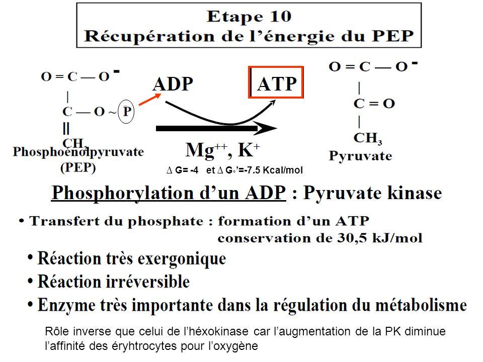 ∆ G= -4 et ∆ G ° '=-7.5 Kcal/mol Rôle inverse que celui de l'héxokinase car l'augmentation de la PK diminue l'affinité des éryhtrocytes pour l'oxygène